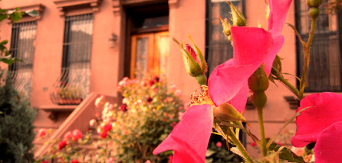 a row of brownstones in Park Slope with brilliantly colored roses in front