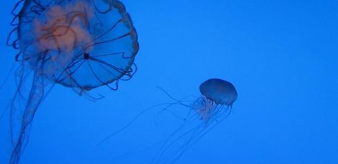 jellyfish at the New York Aquarium