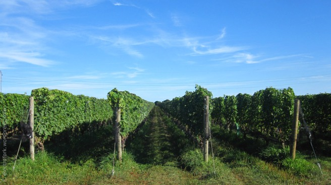 North Fork Vineyard, Shinn Estates