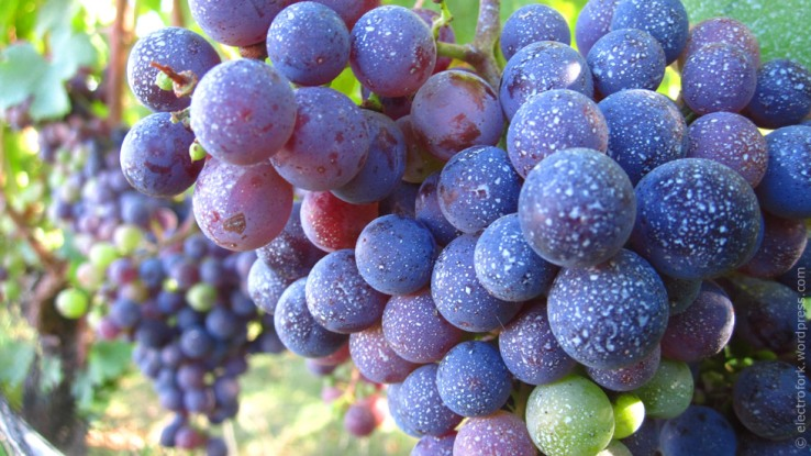 North Fork wine grapes