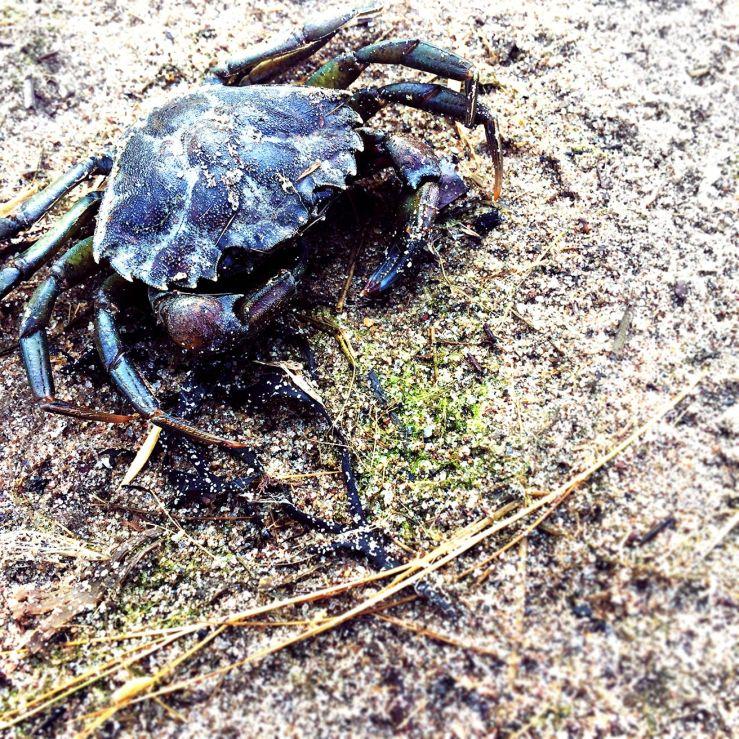 gerritsenbeach_crab