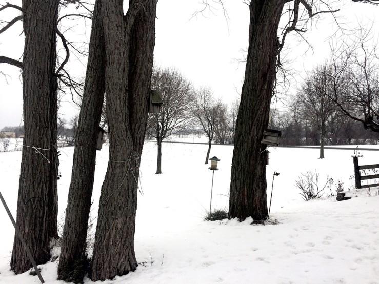 locust trees in snow