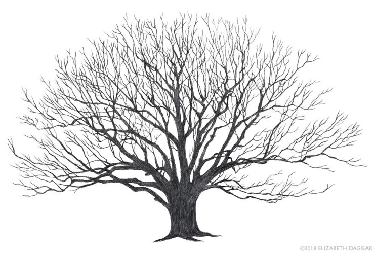 pencil drawing of a red oak tree by E Daggar