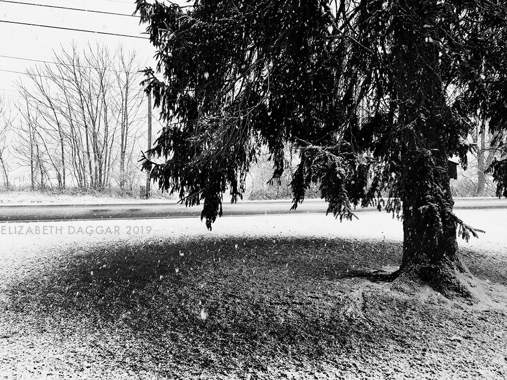 the giant pine in the yard upstate, blocking snowfall on the yard liek an umbrella (b&w photo)