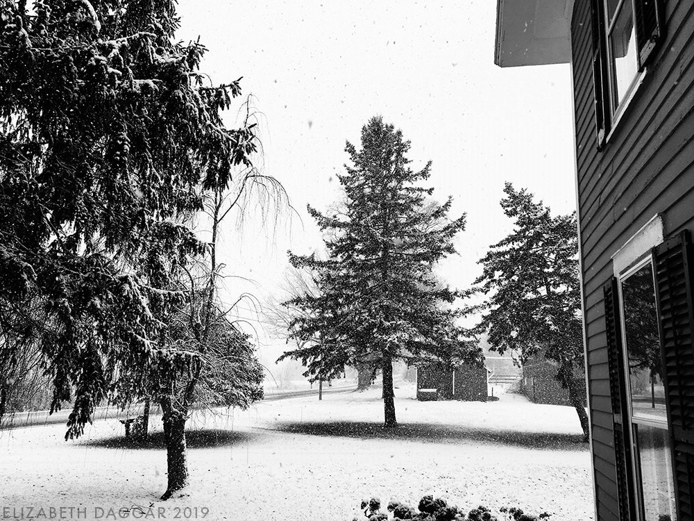 Several pine trees upstate in snowfall (b&w photo)
